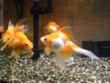 吸水口に集う金魚たちその1