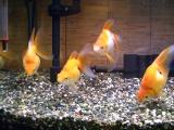 吸水口に集う金魚たちその2